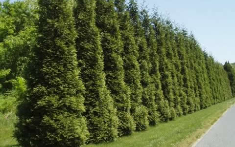 Living Fence | Create a natural living fence with the Thuja Green Giant tree