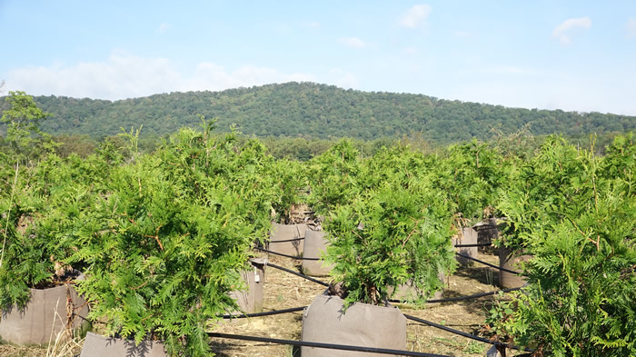 Little Mountain Farm Edinburg Virginia | Living Fence Thuja Green Giant Trees for Sale