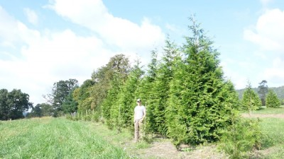 Thuja Green Giant from Little Mountain Farm | Create a Living Fence